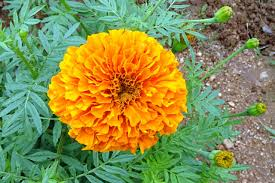 Uses of Marigold
